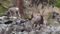 Big Horn Sheep on Day 5